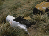 A Black-Browed Albatross Sitting on its Nest Photographic Print by Gordon Wiltsie