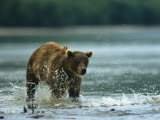 A Brown Bear Splashing Through Water While Hunting for Salmon Fotografisk tryk af Klaus Nigge