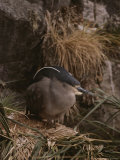 A Black-Crowned Night Heron Nesting on a Rock Outcrop Photographic Print by Gordon Wiltsie
