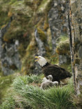 An American Bald Eagle and Chicks in Their Clifftop Nest Fotografisk tryk af Klaus Nigge