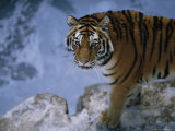 A Siberian Tiger Walks About its Enclosure Photographic Print