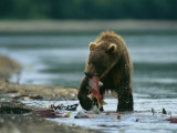 A Brown Bear with a Freshly Caught Salmon in its Mouth Fotografisk tryk af Klaus Nigge
