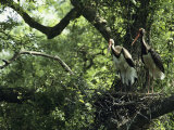 A Pair of Black Storks Nest in a Tree, Ciconia Nigra Photographie par Klaus Nigge