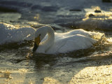 Whooper Swans Bathing in Early Morning Light Photographic Print by Tim Laman