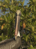 Portrait of a Brown Pelican (Pelecanus Occidentalis) Photographic Print by Ralph Lee Hopkins