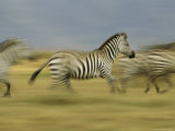 A Herd of Running Zebras Photographic Print by Michael Melford