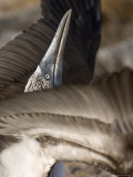 A Blue Footed Booby Flaps His Wings as Part of His Mating Ritual Photographic Print by Ralph Lee Hopkins