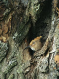 A Hoopoe Peers from a Hole in a Tree Photographic Print by Klaus Nigge