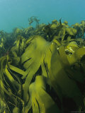A Forest of Kelp Photographic Print by Nick Caloyianis