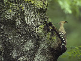 A Hoopoe Perches on a Tree Photographie par Klaus Nigge