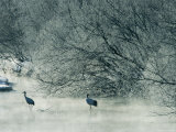 Japanese or Red-Crowned Cranes Wade Through Mist Rising on a River Photographie par Tim Laman