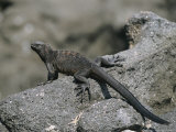 A Marine Iguana Rests on a Rock Photographic Print by Nick Caloyianis