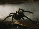 A Tarantula (Theraphosidae Family) Emerges from its Web Photographic Print by Tim Laman