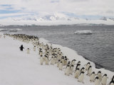 A Group of Adelie Penguins Walking Along the Waters Edge Photographic Print by Ralph Lee Hopkins