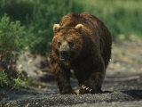 A Brown Bear Ambling Along a Shore Photographic Print by Klaus Nigge