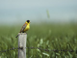 A Black-Headed Bunting Perches on a Fence Post, Emberiza Melanocephala Photographic Print by Klaus Nigge