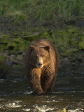 An Alaskan Brown Bear Crosses a Stream in Tongass National Forest Photographic Print by Ralph Lee Hopkins
