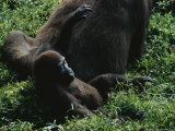 A Young Gorilla (Gorilla Gorilla Gorilla) Lounges Near its Mother Photographic Print by Michael Nichols