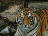 A Siberian Tiger in its Outdoor Enclosure Photographic Print