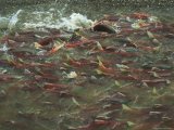 A School of Salmon Migrating to Spawning Grounds Photographic Print by Klaus Nigge