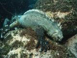 A Marine Iguana Eats Algae from the Ocean Floor Photographic Print by Nick Caloyianis