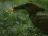A Hammerkop (Scopus Umbretta) About to Swallow a Frog Photographic Print by Michael Nichols