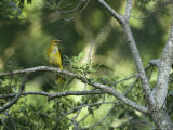 A Female Golden Oriole Perches on a Tree Branch Photographic Print by Klaus Nigge
