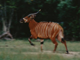 A Bongo Antelope (Tragelaphus Euryceros) About to Break into a Sprint Photographic Print by Michael Nichols