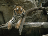 Khuntami, a Male Siberian Tiger, Rests on a Rock Ledge Photographic Print by Joel Sartore