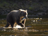 An Alaskan Brown Bear Catches a Salmon Photographic Print by Ralph Lee Hopkins