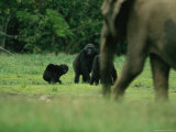 A Group of Lowland Gorillas Warily Watch a Passing Forest Elephant Photographic Print by Michael Nichols