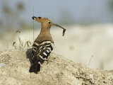 A Hoopoe Carries an Insect in its Mouth Photographie par Klaus Nigge
