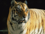 Khuntami, a Male Siberian Tiger, in His Outdoor Enclosure Photographic Print