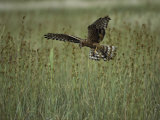 A Northern Harrier Hawk Clutches an Insect in its Talons Stampa fotografica di Klaus Nigge