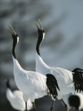 A Pair of Japanese or Red Crowned Cranes Give a Mating Call, Japanese Cranes Mate for Life Stampa fotografica di Tim Laman