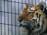 Khuntami, a Male Siberian Tiger, Rests in His Cage Photographic Print