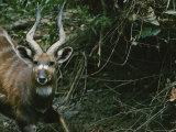 Portrait of a Bongo Antelope Photographic Print by Michael Nichols