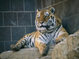 Khuntami, a Male Siberian Tiger, Rests in His Outdoor Enclosure Photographic Print