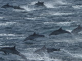 Common Dolphins Leap in a Frenzy of Splashing Photographic Print by Ralph Lee Hopkins
