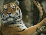 A Portrait of Khuntami, a Male Siberian Tiger Photographic Print