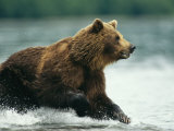 A Brown Bear Rushing Through Water While Hunting for Salmon Impressão fotográfica por Klaus Nigge