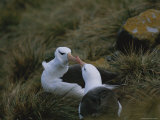 Black-Browed Albatrosses Greet Each Other at Their Nest Site Photographic Print