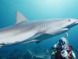 A Scuba Diver Takes a Photo of a Caribbean Reef Shark Photographic Print by Nick Caloyianis