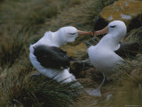 A Pair of Nesting Black-Browed Albatrosses Touching Bills Photographic Print