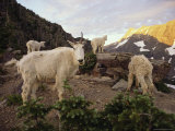 Mountain Goat and Kids Climb Rocks in Glacier National Park Photographic Print by Skip Brown