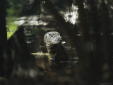 Non-Native Water Monitor Lizard Standing in Water Photographic Print by Tim Laman