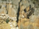 Griffon Vulture Coming in for a Landing on a Rocky Outcrop Papier Photo par Klaus Nigge