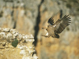 Griffon Vulture Coming in for a Landing on a Rocky Outcrop Photographic Print by Klaus Nigge
