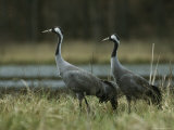 Pair of Common Cranes Standing at the Waterside Fotografisk tryk af Klaus Nigge
