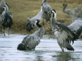 Pair of Common Cranes Splashing Around in Water Photographic Print by Klaus Nigge